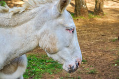 Closeup of a donkey Royalty Free Stock Photos