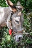 Closeup of donkey Royalty Free Stock Photos