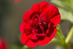 Closeup of a double Calibrachoa flower Stock Photo