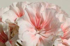 Closeup of Double Zonal Pelargonium. White Flower Speckled with Red. Closeup of Double Zonal Pelargonium. White Flower, Speckled with Red Stock Photos