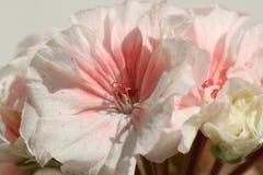 Closeup of Double Zonal Pelargonium. White Flower Speckled with Red. Closeup of Double Zonal Pelargonium. White Flower, Speckled with Red Royalty Free Stock Images