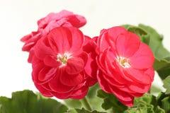 Closeup of Double Zonal Red Pelargonium. With Large Petals Stock Image