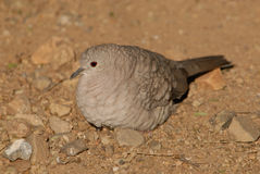 Closeup of Dove. Dove at the Arizona-Sonora Desert Museum in Tuscon, Arizona Royalty Free Stock Photo