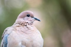 Closeup of a Dove against greenish bokeh, native / local in Abu stock images