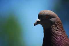 Closeup of a dove Stock Photos