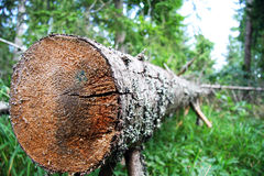 Closeup of downed tree. A closeup view of the sawed end of a tall tree that has just been cut down Stock Photography