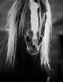 Closeup of a draft horse. In monochrome tones Royalty Free Stock Photos