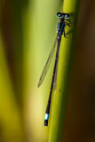 Closeup of a dragonfly. Sitting on a twig Stock Images