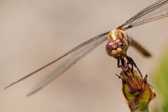 Closeup of a Dragonfly Royalty Free Stock Photography