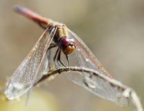 Closeup of a dragonfly Stock Photos