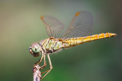 Closeup Dragonfly Royalty Free Stock Photos
