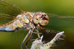 Closeup of a dragonfly Royalty Free Stock Photo