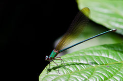 Closeup of dragonfly Royalty Free Stock Photo
