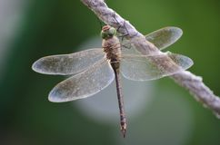 Closeup of dragonfly. Beautiful dragonfly sitting on rope. Insects stock image