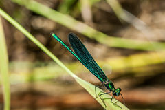 Closeup on a dragonfly on a blurred warm background Stock Images