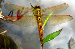 Closeup of a dragonfly Royalty Free Stock Image