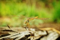 Closeup dragonfly Stock Images