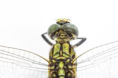 Dragonfly isolated on a white background Stock Images