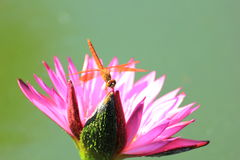 Closeup dragonfly on a pink water lily Royalty Free Stock Photo