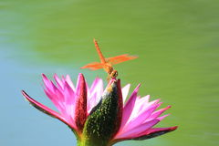 Closeup dragonfly on a pink water lily Stock Photography