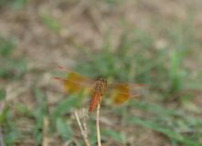 Closeup Dragonfly rest on the grass branch in the Nature stock photos