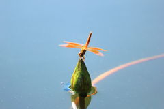 Closeup dragonfly on a water lily Stock Photography