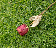 Closeup of dried abandoned rose against grassy background Royalty Free Stock Photos