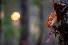 Closeup of dried  brown leaves on the tree with blurred background of forest and sun with bokeh. royalty free stock images