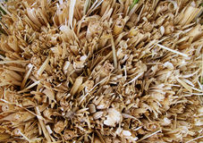 Closeup of dried grass Royalty Free Stock Image
