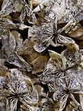 Closeup of Dried Hydrangea Flowers. Dried Hydrangea flowers with textured veins from flower petals stock photos