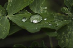 Drops of water on leaves of the plant Alchemilla Royalty Free Stock Image