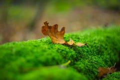 Closeup dry autumn leaf Royalty Free Stock Image