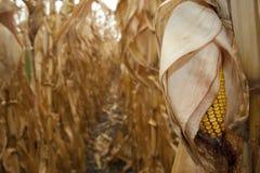 Closeup of dry corn cob ready for harvest Stock Photo