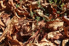 Closeup of dry fallen horse chestnut leaves Royalty Free Stock Image