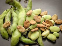 Closeup of dry and fresh broad beans seeds Vicia faba and  fresh picked raw broad beans in the pod on wooden table royalty free stock photography