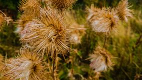 Dry golden plants closeup in the summer stock photo