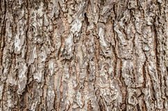 Closeup of dry rough bark of old tree as background backdrop or Royalty Free Stock Photography