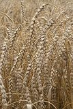 Closeup of dry wheat Royalty Free Stock Images