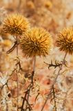 Dry Thistles Royalty Free Stock Image