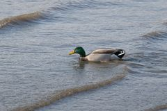 Closeup of a duck swimming in the shallow waters of the East River stock photography