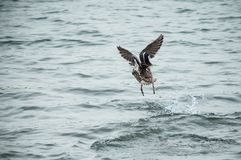 Duck taking off on the lake. Closeup of duck taking off on the lake Royalty Free Stock Images