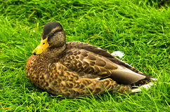 Closeup of a duck taking rest on a green meadow Stock Photos