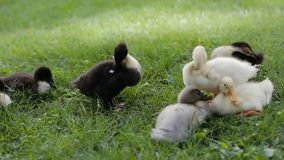 Closeup of ducklings cleaning their feather on a green grass in a park. Closeup of ducklings group cleaning their feather on a green grass in a park stock video footage