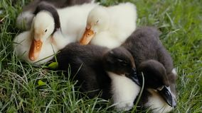 Closeup of ducklings laying on a green grass in a park.  stock footage