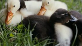 Closeup of ducklings laying on a green grass in a park. Closeup of ducklings laying and walking on a green grass in a park stock video