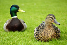 Closeup for ducks couple Stock Photography
