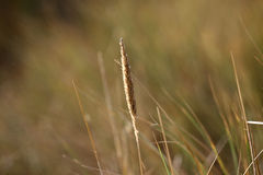 Closeup dunesgrass. A photo of the dunes in the Netherlands royalty free stock photos