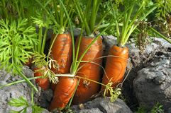 Closeup dutch carrots in the soil in carrot field Stock Image