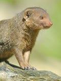 Closeup dwarf mongoose. Helogale parvula Stock Photos
