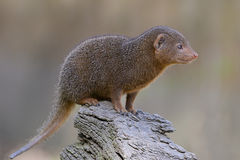 Closeup dwarf mongoose. Helogale parvula perched on branch tree Royalty Free Stock Images
